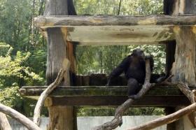 Simpanse di Gembira Loka Zoo