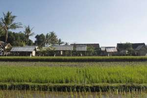 Pemandangan sawah di sekitar warung soto Bathok mbah Katro