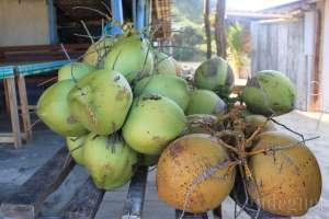 Buah kelapa yang segar di Pantai Drini