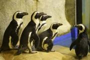 GL Zoo Sediakan 1 Ton Ikan untuk Pakan Pinguin