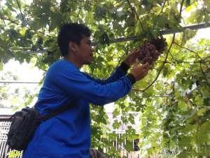 Sensasi  Memetik Anggur Langsung dari Pohonnya di Kampung Anggur Bantul
