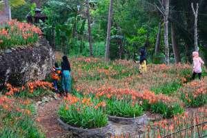 Taman Bunga Amarilis di Gunungkidul Jadi Favorit Pengunjung